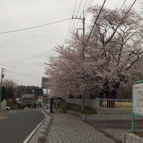 (temp) 桜 @ 水戸 歴史館 2013.03.30