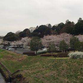 (temp) 桜 @ 偕楽園公園 桜山 2013.03.30