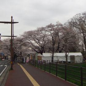 (temp) 桜 @ 水戸城跡 2013.03.30