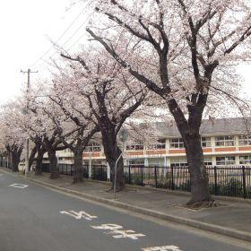 (temp) 桜 @ 水戸市立 五軒小学校 & 幼稚園 2013.03.30