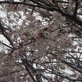 (temp) ポケットファームどきどき 2013.03.31