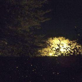(temp) 夜桜 @ 祇園寺, 水戸 2013.04.05