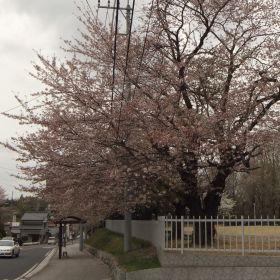 (temp) 桜 @ 水戸県立歴史館 2013.04.06