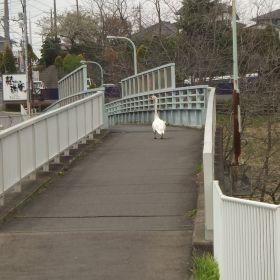 (temp) 白鳥と遭遇 @ 桜山橋側道橋, 水戸 2013.04.06
