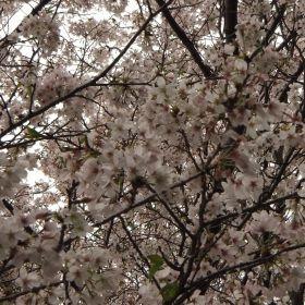 (temp) 桜 @ 偕楽園公園 桜山, 水戸 2013.04.06