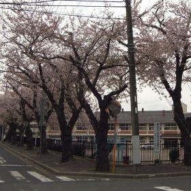 (temp) 桜 @ 五軒町小学校, 水戸 2013.04.06
