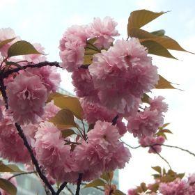 (temp) お花見 @ 旧芝離宮恩賜庭園 2013.04.10