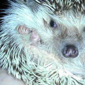 Liberty the hedgehog