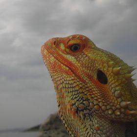 Bearded Dragon Rony