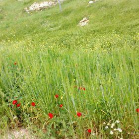 Amman Spring