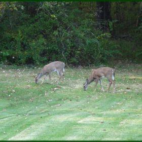 Cerf/Deer